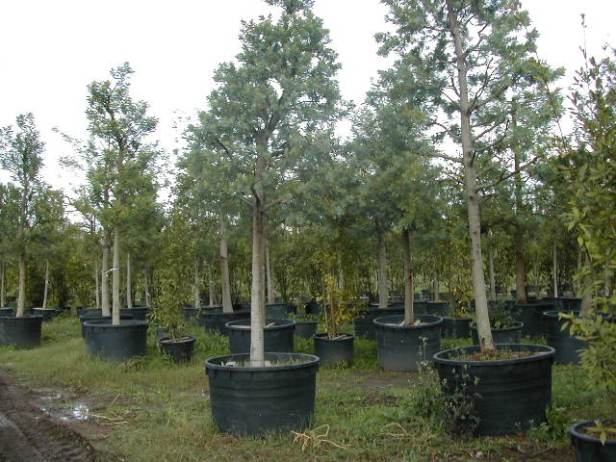 acacia-bayleana