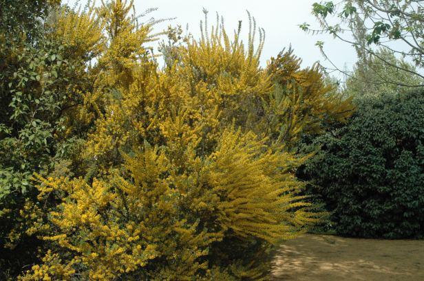 acacia-cultriformis