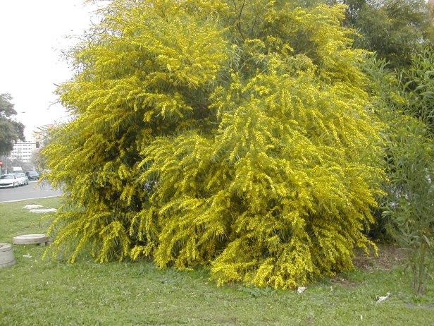 acacia-cyanophylla