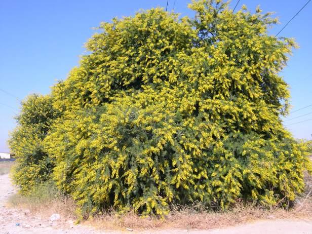 acacia-karoo-1