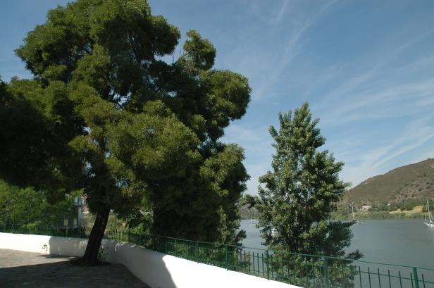 acacia-melanoxylon-alcoutim-portugal