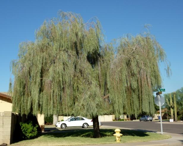acacia-pendula