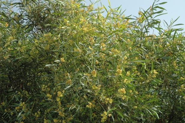 acacia-retinodes-floribunda-flores