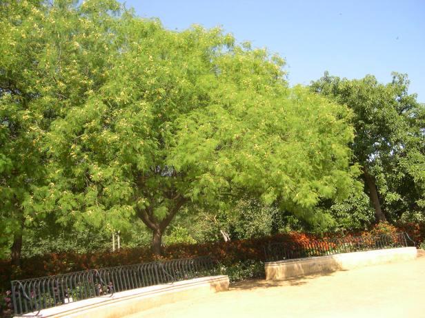 albizia-procera-arboretum-022-1