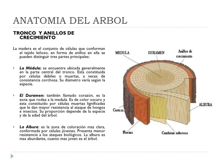 XI-.- Historias en verde: anatomía de un árbol. Cómo se desarrolla ...