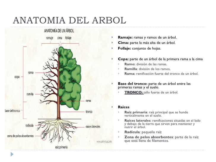 XI.- Historias en verde. Anatomía de un árbol. Cómo se desarrolla ...