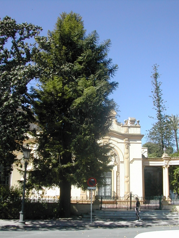 araucaria-angustifolia-025-1-b