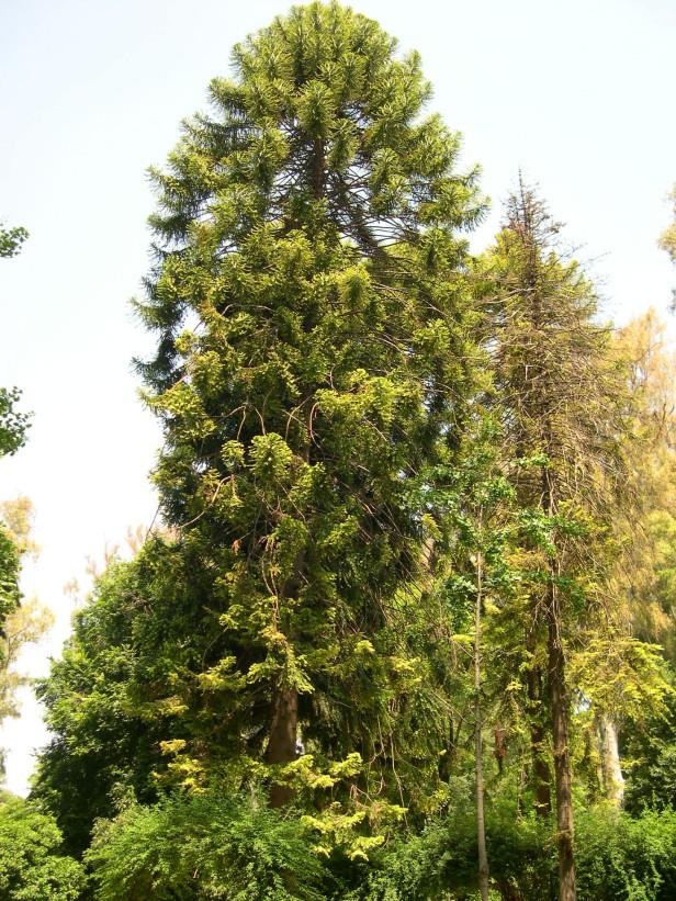 araucaria-bidwillii-026-1-c