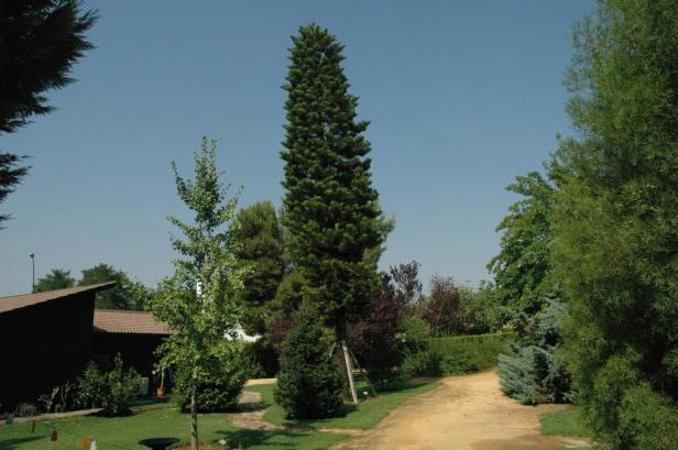 araucaria-columnaris