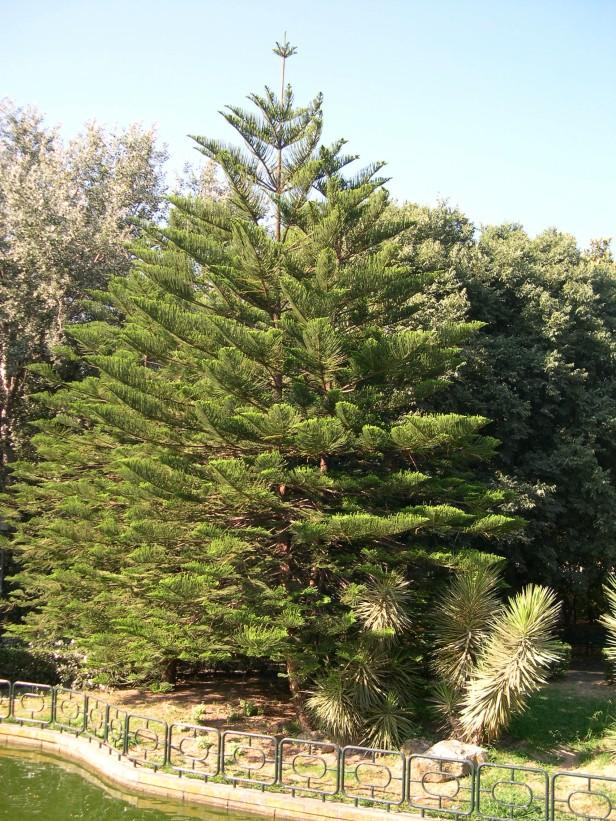 araucaria-heterophylla-029-1