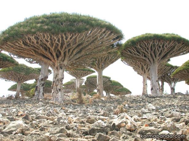 arboles-de-el-yemen-en-el-sur-de-la-penisnula-de-arabia
