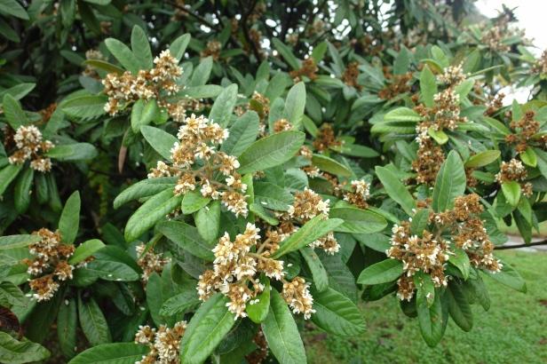 arboretum-el-carmbolo-eryobortria-japonica-flor