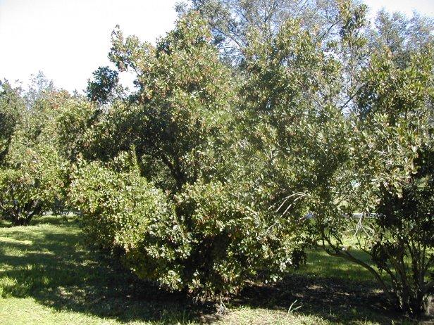 arbutus-unedo-030-2-b