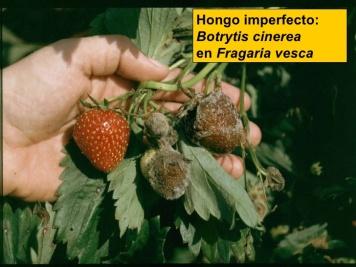 botrytis-cinerealos-hongos-59-728