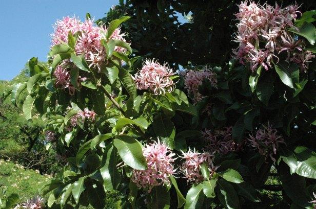 calodendron-capense-flor