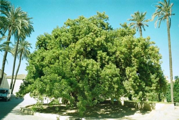 cartuja-santa-maria-de-las-cuevas-phytolacca-dioica