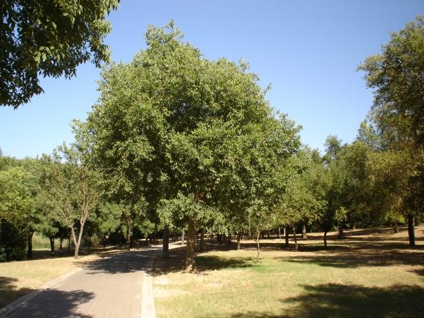 celtis-australis-parque-del-alamillo-jun-2011-031