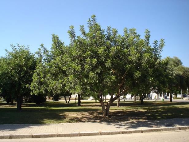 ceratonia-siliqua-parque-del-alamillo-jun-2011-053