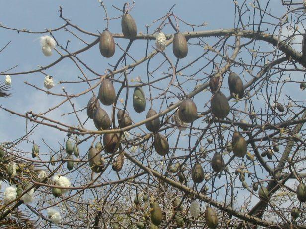 chorisia-speciosa-frutos-065-2-b