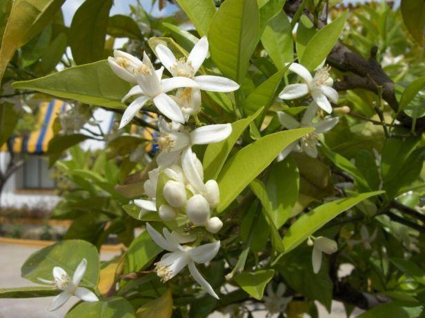 citrus-aurantium-1