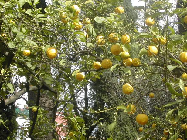 citrus-limeta