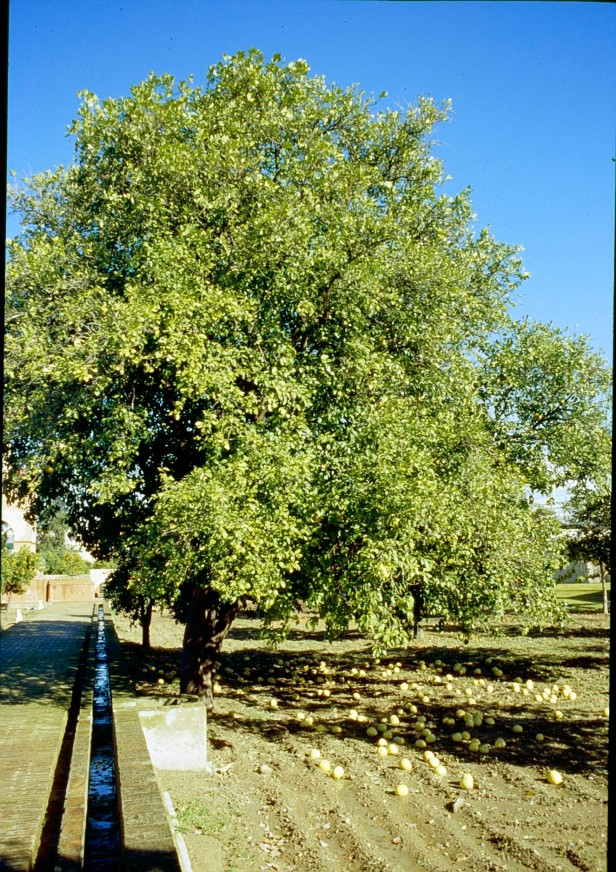 citrus-paradis-pomelo