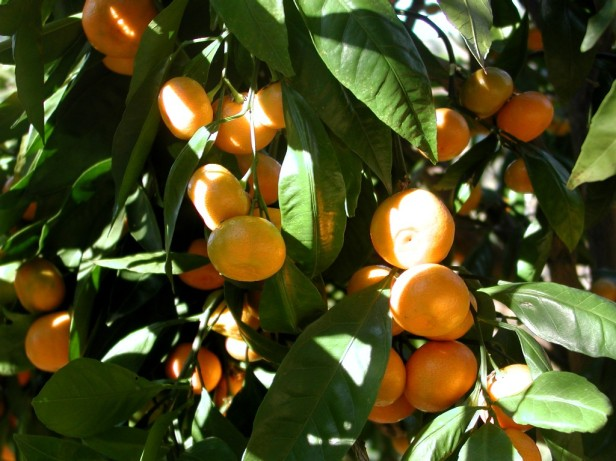 citrus-reticulata-mandarin_tree_closeup