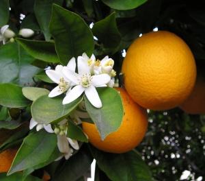 citrus-sinensis