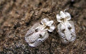 corythuca-ciliata-a
