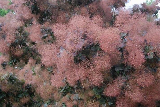 cotynus-coggiria-smoke-tree