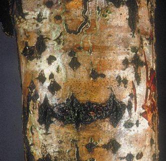 dothichiza-populeanecrosis-del-chopo-cab-411x400