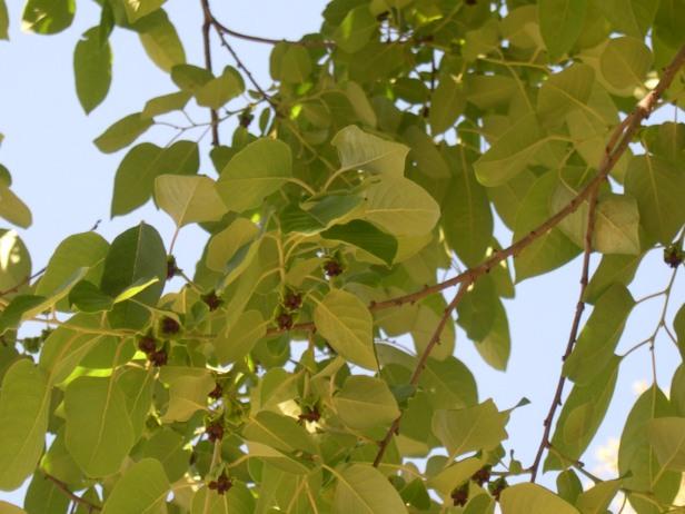 dyospirus-virginianus-frutos-091-2