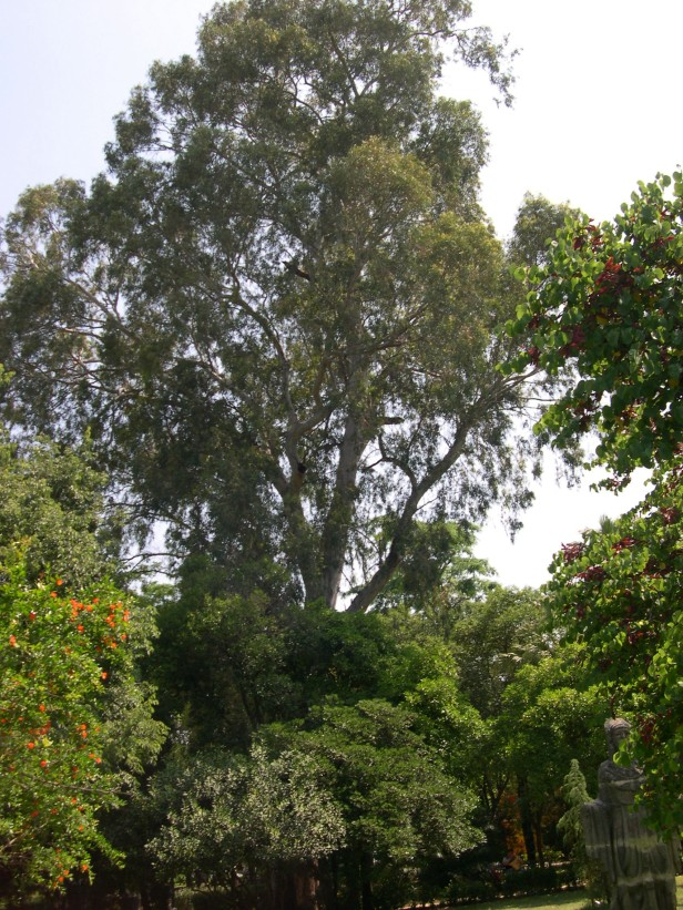 eucaliptus-camaldulensis-100-1-c
