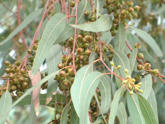 eucaliptus-globulus-102-2