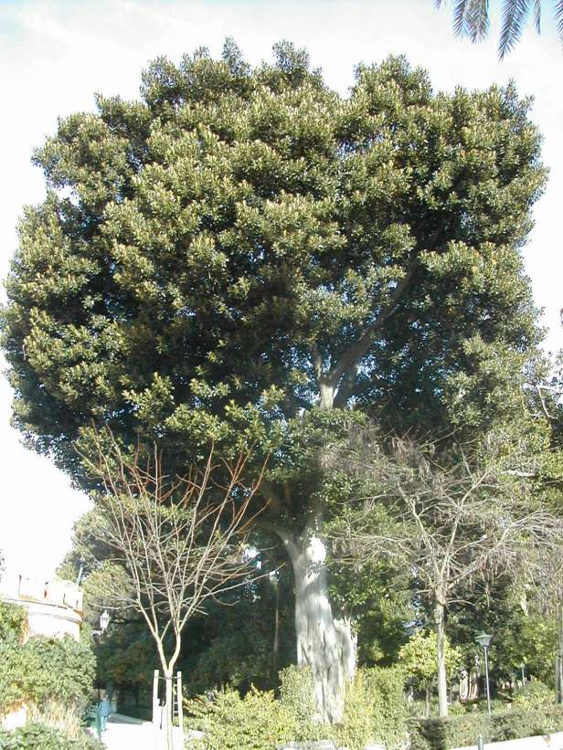 ficus-macrophylla-murillo111-1