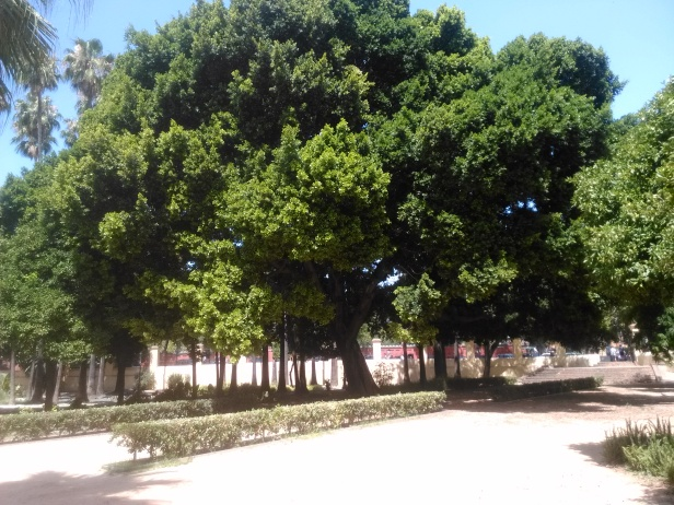 ficus-microcarpa-jardines-de-san-telmo-julio-2016-039