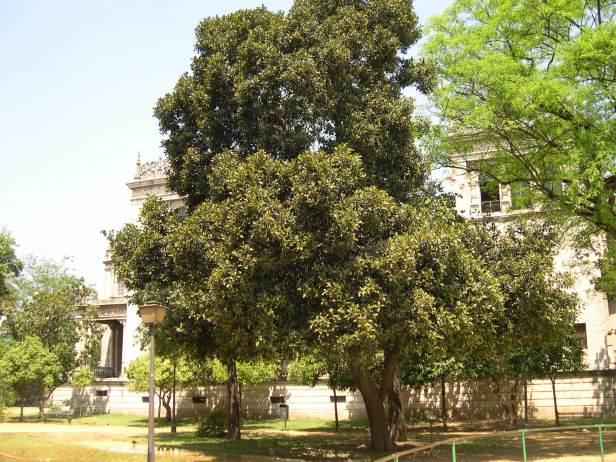 ficus-rubiginosa-113-1-c