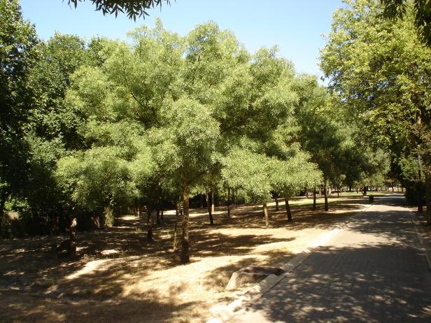 fraxinus-excelsior-parque-del-alamillo-jun-2011-030