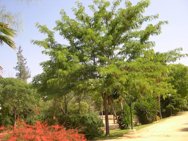gleditzia-triacanrhus-mutis122-4