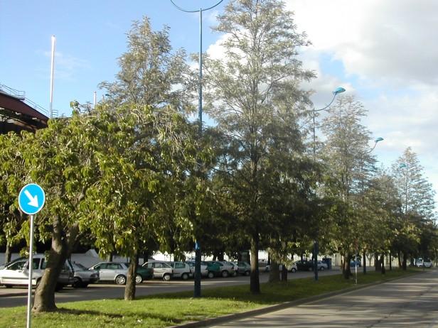 grevilleas-en-inca-garcilaso-123-2-c