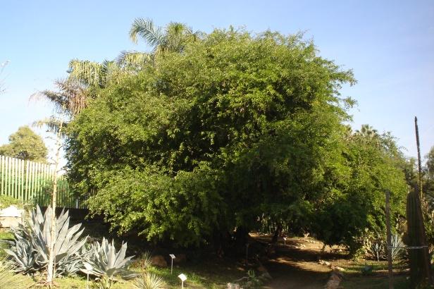 haematoxylon-campechianum-campeche