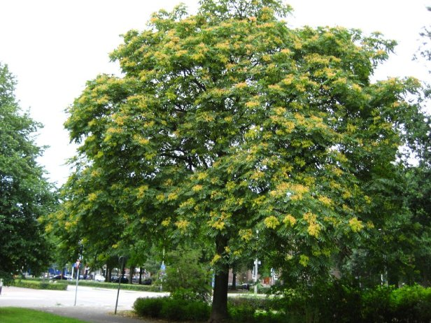hemelboom__ailanthus_altissima__tree_of_heavenimg_3334