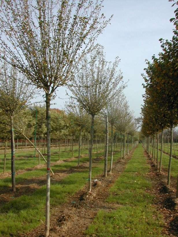 hibiscus-syriacus-en-arbol-127-1