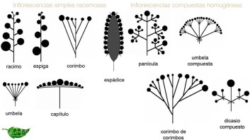 inflorescencias-simples-racemosas-y-compuestas-homogeneas