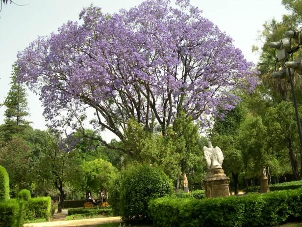 jacaranda-mimosaefolia-plaza-de-america-130-5-c
