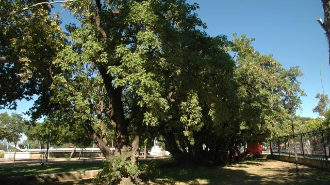jardines-de-las-delicias-phytolacca-dioica-guatemala