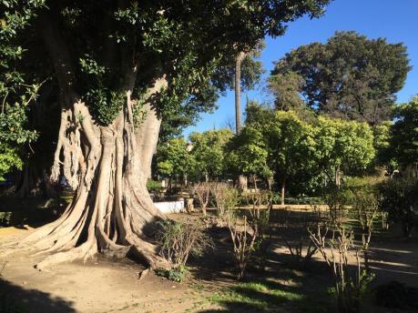 jardines-de-murillo-ficus