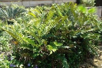 jardines-de-san-telmo-cirtonium-falcatum