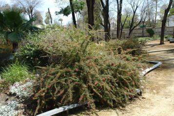 jardines-de-san-telmo-grevillea-rosmarinifolia