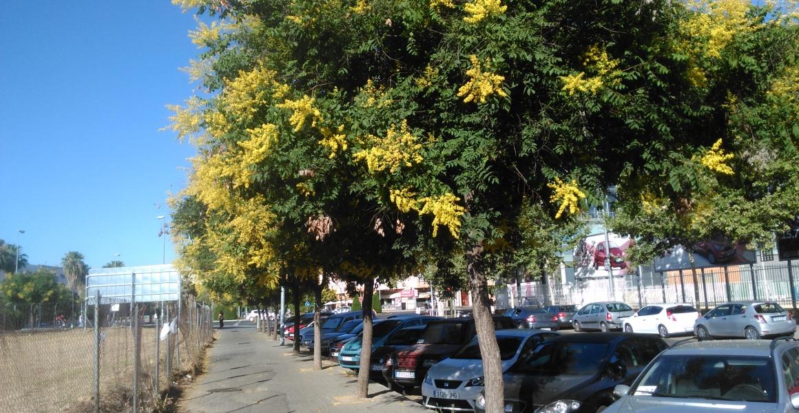 koelreuteria-paniculata-sevilla-junio-2016-073
